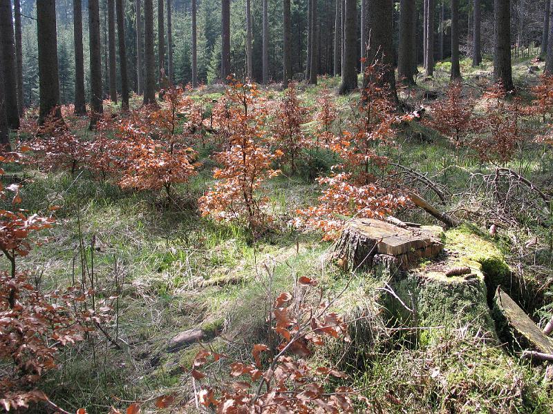 Umělé napodobení malých disturbancí hloučkovitou těžbou při podsadbě rozlehlé smrkové monokultury.