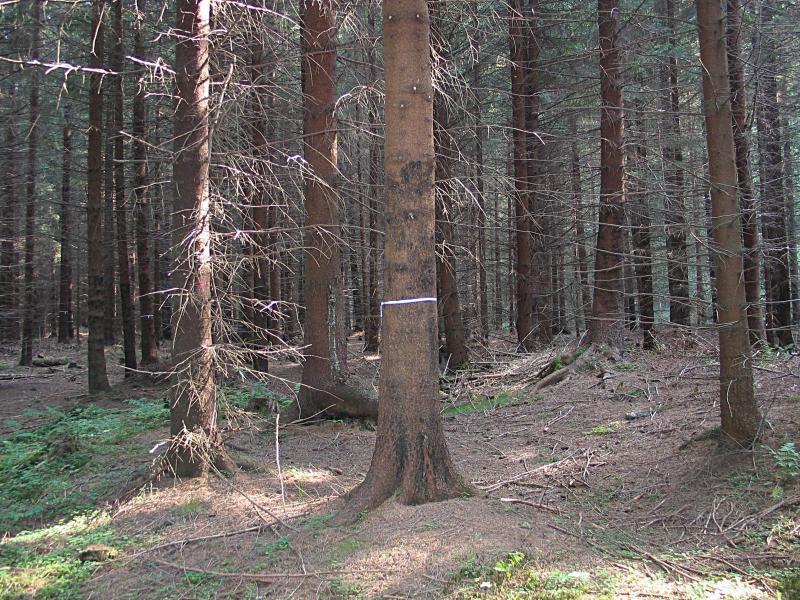 """Strukturní probírka: páskou vyznačený a vyvětvený cílový strom, tečkou vyznačený úrovňový """"horší"""" strom k těžbě (Město Albrechtice)."""