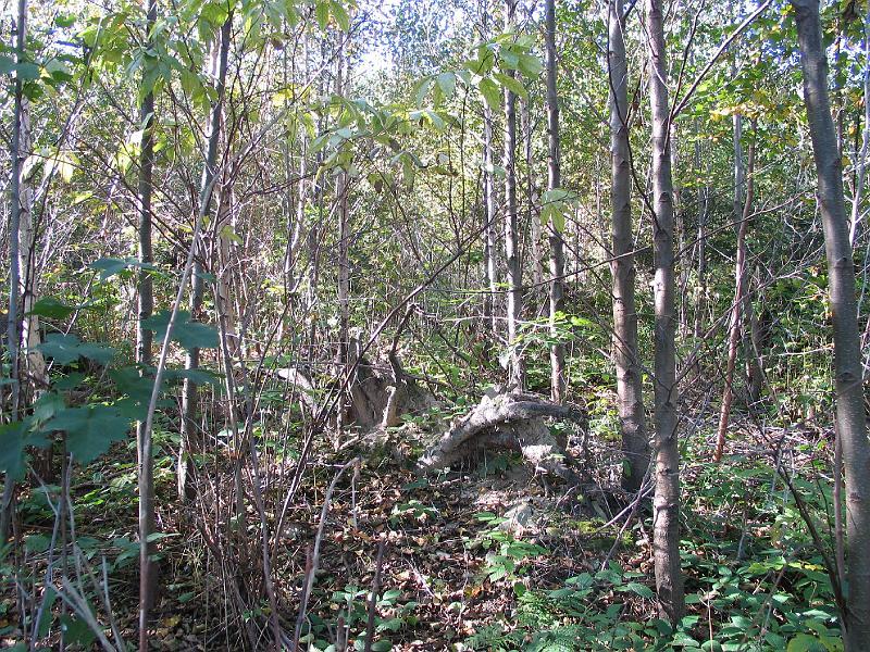 Pohled do nitra skupiny olše lepkavé 20x20 m na velké kalamitní holině, stav po 8 letech. Takové skupiny jsou vhodné pro podsadbu nebo nálet jakékoliv stinné dřeviny, s možností dosáhnout skupinovitě různověkého porostu hned v první generaci po kalamitě.